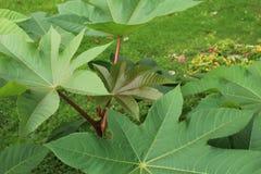 Группа больших листьев Ricinus фасоли рицинуса Стоковое Изображение