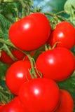 Группа больших зрелых красных плодоовощей томата Стоковые Фото