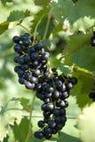 Группа виноградины Стоковые Изображения RF