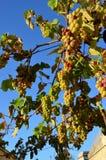 Группа виноградин Стоковые Фото