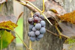 Группа виноградин за сетью паука Стоковые Изображения