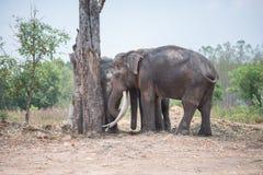 Группа в составе азиатские слоны за деревом стоковые изображения rf