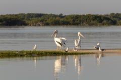 Группа в составе американский белый пеликан плавает вне стоковые фотографии rf