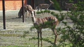 Группа в составе антилопы сток-видео