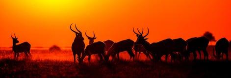 Группа в составе антилопа на заходе солнца Конец-вверх botticelli Перепад Okavango стоковые изображения
