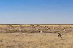Группа в составе антилопы прыгуна есть траву в †«Намибии/Африке национального парка Etosha Стоковые Изображения