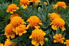 Группа в составе апельсин цветет Tagetes стоковое изображение