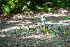 Группа в составе бабочки puddling на том основании и летая в природу, Таиланд Стоковые Изображения