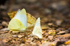 Группа в составе бабочки puddling на том основании Стоковые Изображения