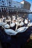 Группа в составе безгласные лебеди в озере Alster около ратуши Германия hamburg стоковая фотография