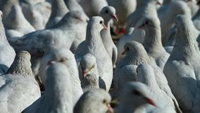 Группа в составе белые голуби акции видеоматериалы