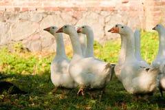 Группа в составе белые гусыни идя на траву в ферме Стоковые Изображения RF