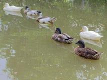 Группа в составе белые, зеленые, и коричневые утки возглавляя северозапад следовать другими в темном ом-зелен пруде Стоковая Фотография RF