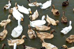 Группа в составе белые и коричневые утки плавает в пруде Стоковое Изображение