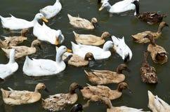 Группа в составе белые и коричневые утки плавает в пруде Стоковое Изображение RF
