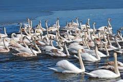 Группа в составе белые лебеди плавая в воде Стоковое фото RF