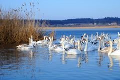 Группа в составе белые лебеди плавая в воде Стоковая Фотография