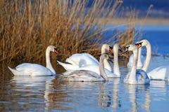 Группа в составе белые лебеди плавая в воде Стоковая Фотография RF