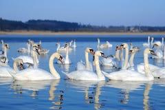 Группа в составе белые лебеди плавая в воде Стоковое Фото
