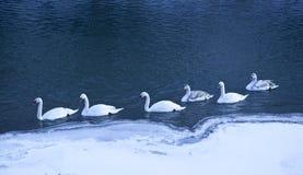 Группа в составе белые лебеди, seasson зимы стоковая фотография rf