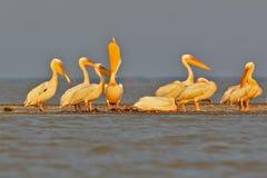Группа в составе белые пеликаны отдыхает на солнечном свете утра стоковое фото rf
