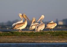 Группа в составе белые пеликаны отдыхает на солнечном свете утра стоковые фото