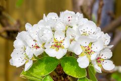 Группа в составе белый Pyrus цветет весной сезон Стоковое Фото