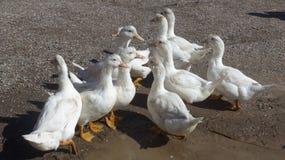 Группа в составе белые гусыни на ферме Стоковая Фотография RF