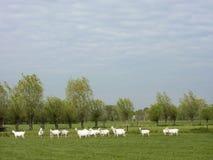 Группа в составе белые козы в зеленом голландском луге в нидерландском Д-р Стоковые Изображения RF