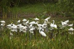 Группа в составе белые egrets wading в болоте в Флориде Стоковое Изображение