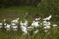 Группа в составе белые egrets wading в болоте в Флориде Стоковые Фотографии RF