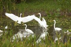 Группа в составе белые egrets wading в болоте в Флориде Стоковая Фотография RF