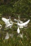 Группа в составе белые egrets wading в болоте в Флориде Стоковые Фото
