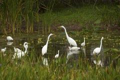Группа в составе белые egrets wading в болоте в Флориде Стоковая Фотография