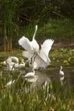 Группа в составе белые egrets wading в болоте в Флориде Стоковое Изображение RF