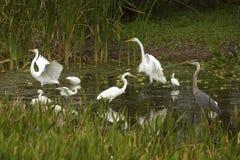 Группа в составе белые egrets wading в болоте в Флориде Стоковое Фото