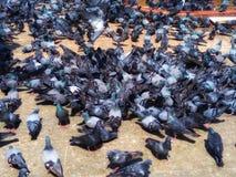 Группа в составе бой голубя птиц сверх для еды на том основании стоковые изображения rf