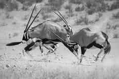 Группа в составе бой сернобыка для засилья в горячем художнике солнца Kalahari Стоковые Изображения RF