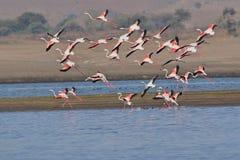 Группа в составе большее летание фламинго стоковые изображения