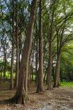 Группа в составе большие деревья outdoors в сельском районе, outdoors в туристском лесе стоковое фото rf