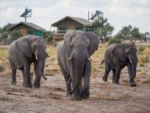 Группа в составе большие слоны идя между шатрами сафари на ложе, Ботсване, Африке Стоковые Фотографии RF