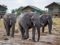 Группа в составе большие слоны идя между шатрами сафари на ложе, Ботсване, Африке Стоковые Изображения RF