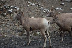 Группа в составе большие овцы 2 рожка Стоковые Фото