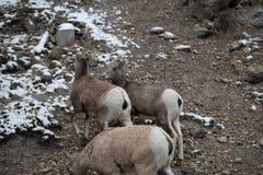 Группа в составе большие овцы рожка Стоковое Изображение
