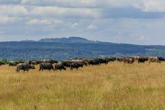 Группа в составе буйволы и коровы на зеленом поле Стоковое фото RF