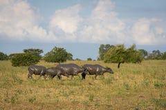 Группа в составе буйвол на их естественной среде обитания, саванна Bekol, Baluran национальный парк aluran зона консервации леса  стоковые изображения