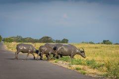 Группа в составе буйвол на их естественной среде обитания, саванна Bekol, Baluran национальный парк aluran зона консервации леса  стоковые фото