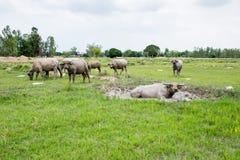 Группа в составе буйволы на зеленом поле Стоковые Изображения RF