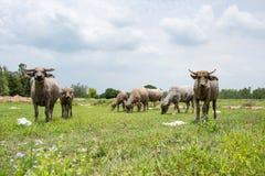 Группа в составе буйволы на зеленом поле Стоковое фото RF