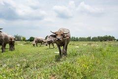 Группа в составе буйволы на зеленом поле Стоковые Фотографии RF